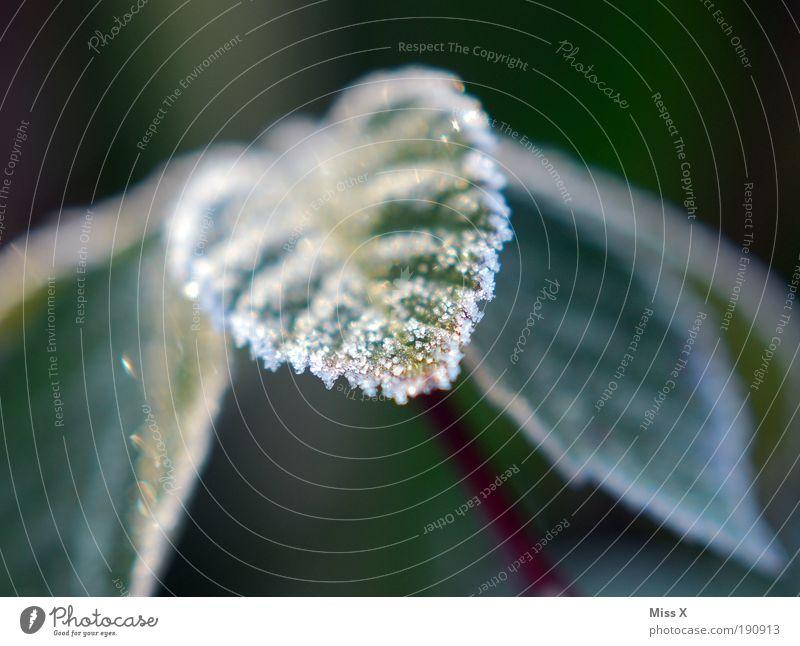 Zucker III Herbst Winter Wetter Eis Frost Schnee Pflanze Sträucher Blatt Park kalt klein schön Natur Raureif Farbfoto Gedeckte Farben Außenaufnahme Nahaufnahme