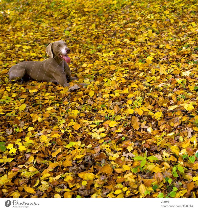 900 Blätter und ein Hund Natur Blatt Tier gelb Ferne Erholung Herbst Glück Hund Park Zufriedenheit braun warten elegant groß ästhetisch
