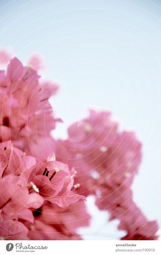 zartrosa Farbtupfer Wohlgefühl Ferien & Urlaub & Reisen Sommerurlaub Insel Umwelt Natur Pflanze Himmel Wolkenloser Himmel Schönes Wetter Blume Sträucher Blüte