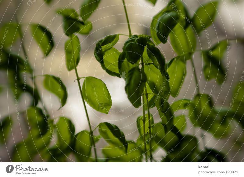 Basilikumwald grün Sommer Pflanze Blatt Lebensmittel Wachstum frisch Ernährung Küche Kräuter & Gewürze Appetit & Hunger Duft Abendessen Mittagessen Grünpflanze Fenster