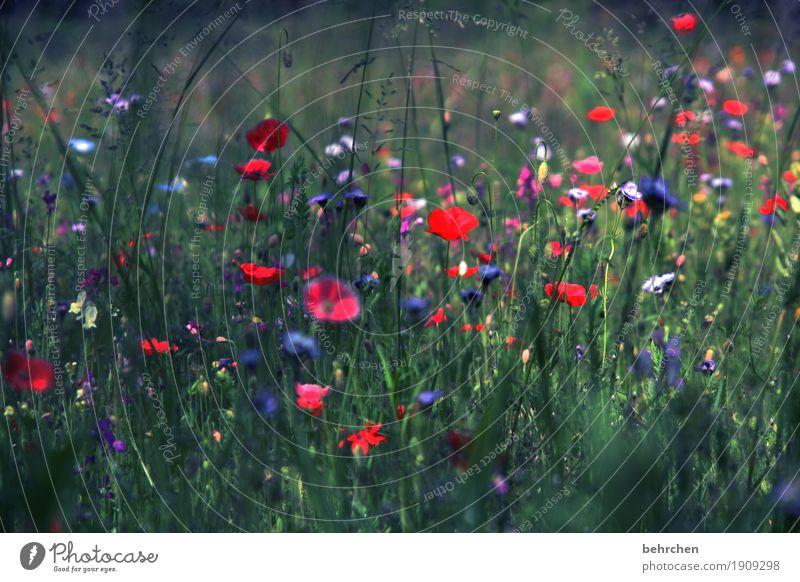 mo(h)ntag YEAH! Natur Pflanze Sommer schön Blume rot Blatt dunkel Wärme Blüte Wiese Gras Garten Park Feld Wachstum