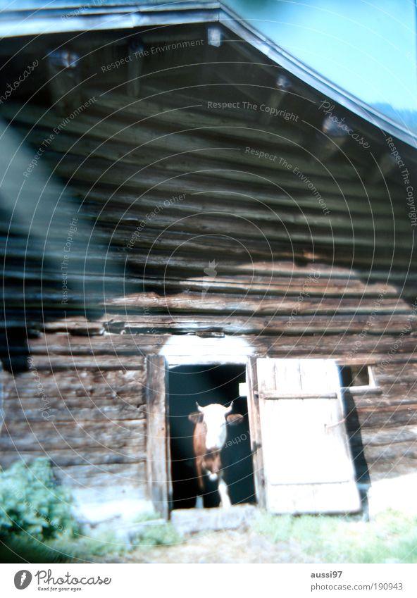 Cashcow Kuh violett Landwirtschaft Milchkuh Unschärfe Kuhstall Viehhaltung Nutztier Milchwirtschaft