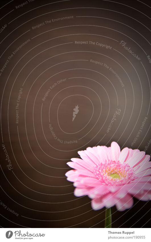 Rosa Blümchen schön Blume Pflanze Blüte Zufriedenheit braun Wohnung rosa frisch Häusliches Leben Lebensfreude Reichtum Grünpflanze