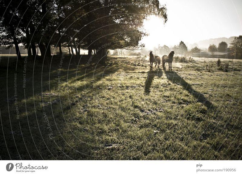 morgan dew Baum Sonne ruhig Tier Wiese Herbst Landschaft Gras Wärme hell Zusammensein Tierpaar Nebel Natur frei frisch