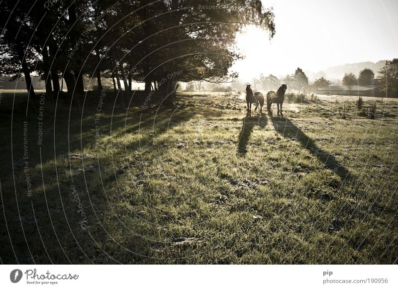 morgan dew Reiten Landschaft Sonne Sonnenlicht Herbst Schönes Wetter Nebel Baum Gras Wiese Raureif Pferd Pony Lasttier 2 Tier Tierpaar frei frisch Zusammensein