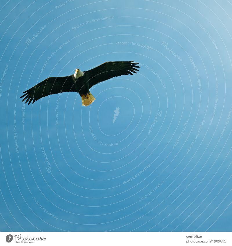 schöne Aussichten? Ferne Expedition Umwelt Natur Tier Urelemente Luft nur Himmel Sonne Klima Wildtier Vogel Greifvogel Weisskopfseeadler 1 Jagd fliegen Adler