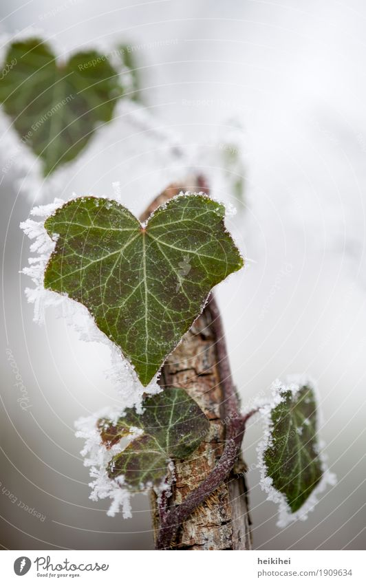 cold outside Umwelt Natur Pflanze Tier Winter Blitze Eis Frost Schnee Sträucher Efeu Blatt Kletterpflanzen Garten Park Wald Menschenleer Tropfen braun grau grün