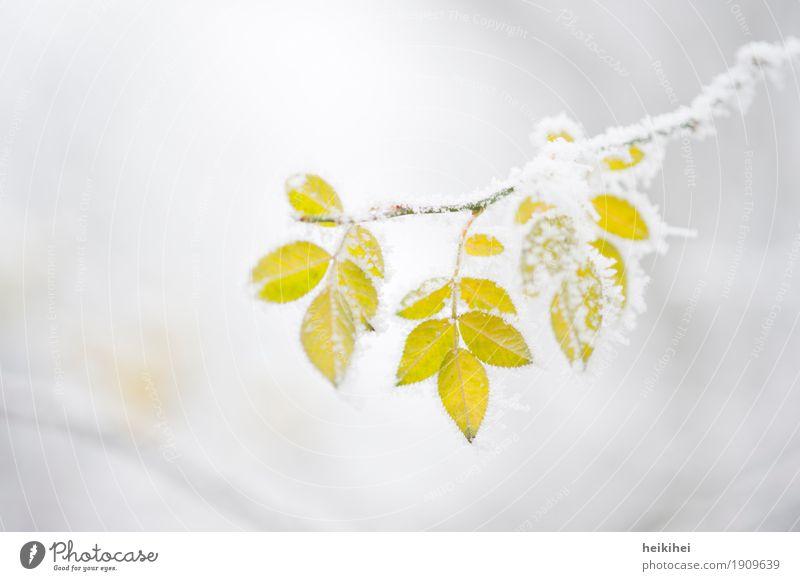 frozen Natur Pflanze Tier Winter Eis Frost Schnee Blatt Garten Park frieren gelb gold grau grün weiß Einsamkeit Vergänglichkeit Ast Zweige u. Äste Baum Herbst