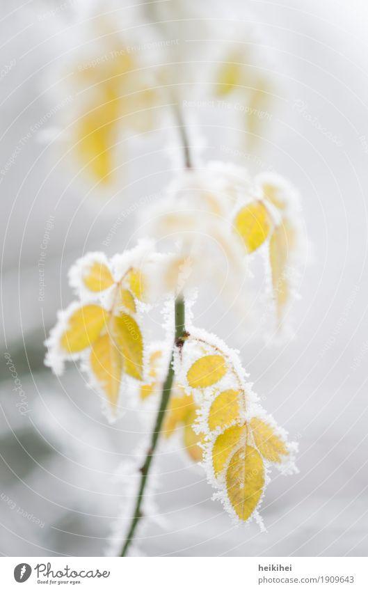 frozen IV Umwelt Natur Pflanze Winter Eis Frost Schnee Sträucher Blatt Grünpflanze Garten Coolness kalt natürlich gelb grau grün weiß schön Farbfoto
