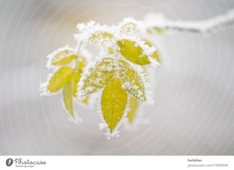 frozen Umwelt Natur Pflanze Winter Eis Frost Schnee Sträucher Blatt Grünpflanze Garten Coolness kalt natürlich gelb grau grün weiß Blätter Farbfoto
