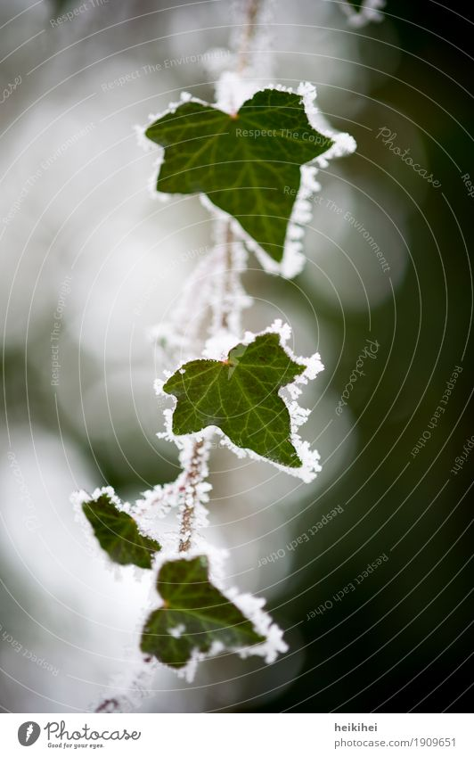 frostig Umwelt Natur Pflanze Tier Winter Blitze Eis Frost Schnee Efeu Blatt Garten Park Wald außergewöhnlich authentisch kalt braun grau grün schwarz weiß
