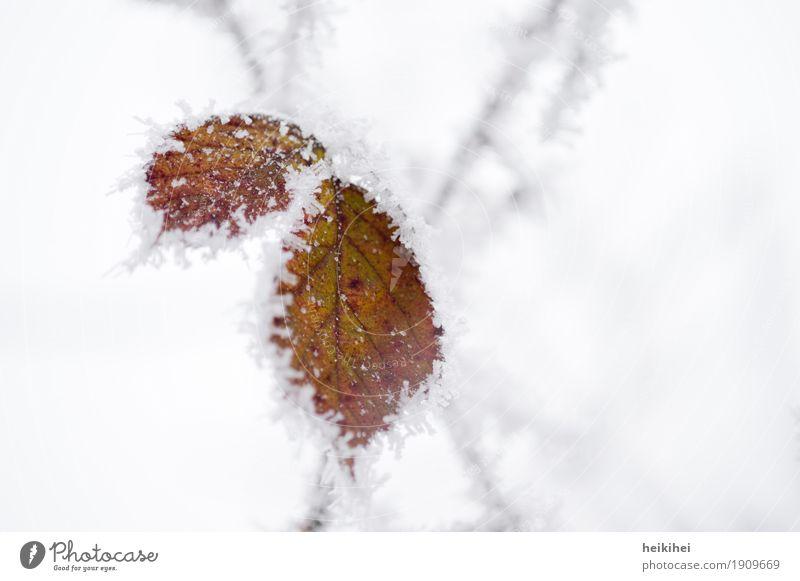 vereist Umwelt Natur Pflanze Tier Winter Eis Frost Schnee Blatt Garten Park Wald authentisch kalt braun grau grün schwarz weiß bizarr Einsamkeit einzigartig