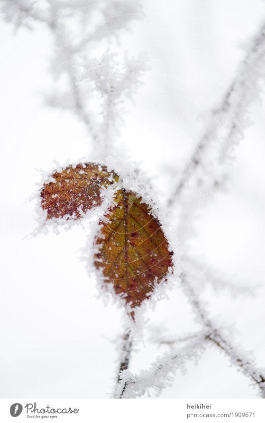 vereist Umwelt Natur Pflanze Tier Winter Eis Frost Schnee Blatt Garten Park Wald authentisch kalt braun gelb gold grau schwarz weiß bizarr einzigartig gefroren