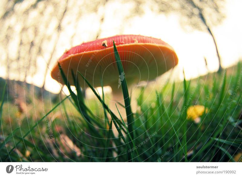 Giftspritze Umwelt Natur Pflanze Herbst Pilz Pilzhut Fliegenpilz rot Cross Processing Falschfarben Grünstich Gelbstich Wiese Leben Farbfoto Außenaufnahme Tag
