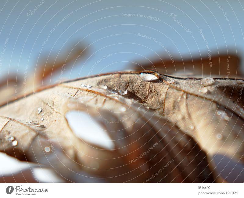 der letzte Rest vom Herbst Wassertropfen Blatt Park glänzend nass Tau Blattadern vertrocknet Farbfoto Gedeckte Farben Innenaufnahme Studioaufnahme Makroaufnahme