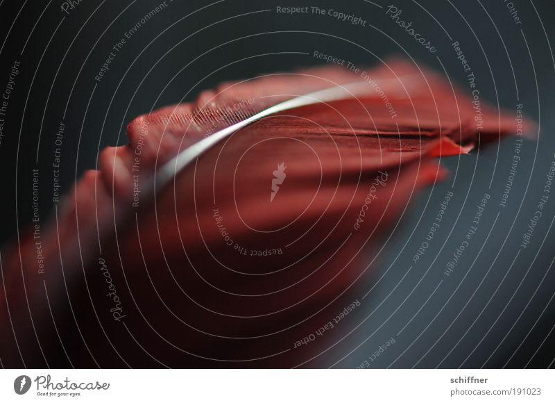 Feuerfeder Natur Tier Flamingo Romantik Hoffnung Trauer Tod Liebeskummer Traurigkeit Feder Kiel Makroaufnahme Licht dunkel Detailaufnahme
