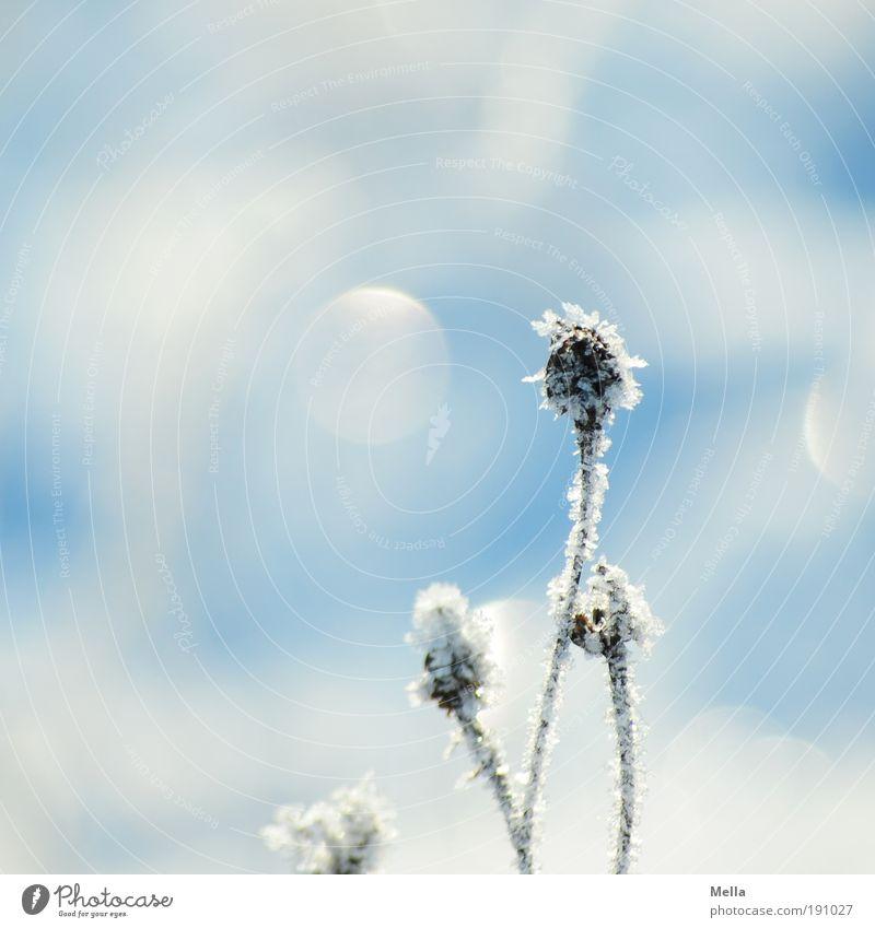 Und noch ein Winterfoto Umwelt Natur Pflanze Klima Klimawandel Wetter Eis Frost Schnee Blume Gras Wiese frieren glänzend hell kalt natürlich blau weiß rein