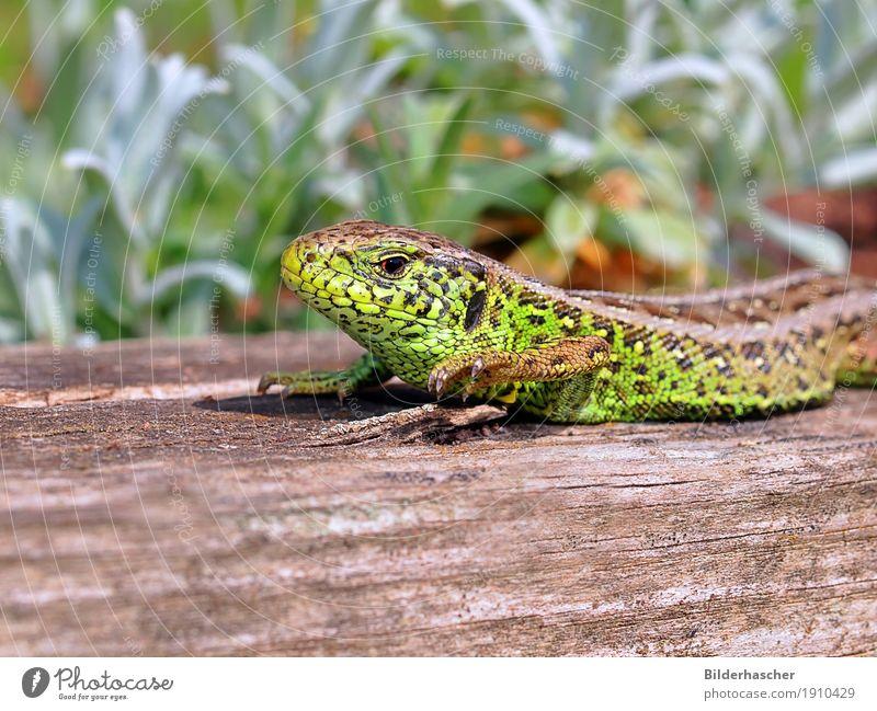 Eidechsenmännchen grün Tier klein maskulin Wildtier Tierhaut Sonnenbad Reptil heizen Schuppen Echsen Amphibie Echte Eidechsen unbeständig schillernd Wirbelsäule
