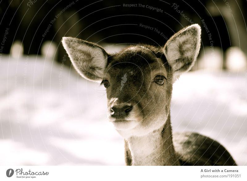 Zartes Waldwesen ....... komm näher schön Tier ruhig Freiheit elegant Wildtier niedlich beobachten Neugier Tiergesicht Vertrauen Licht Zoo hören Kopf Interesse