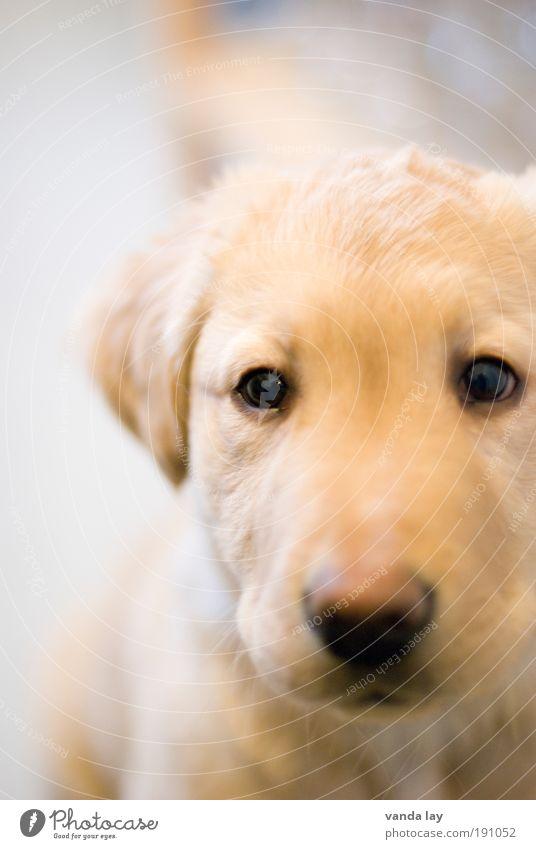 uijuiuiui... Tier Haustier Hund 1 Tierjunges frech Freundlichkeit klein Neugier niedlich gold Kindheit Labrador Welpe retriever flausen schön Vertrauen