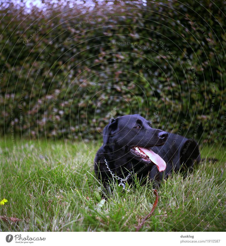 Labrador Natur Tier Gras Hecke Garten Park Haustier Hund Tiergesicht 1 atmen genießen Fröhlichkeit schwarz laufen Außenaufnahme Freizeit & Hobby Freundschaft