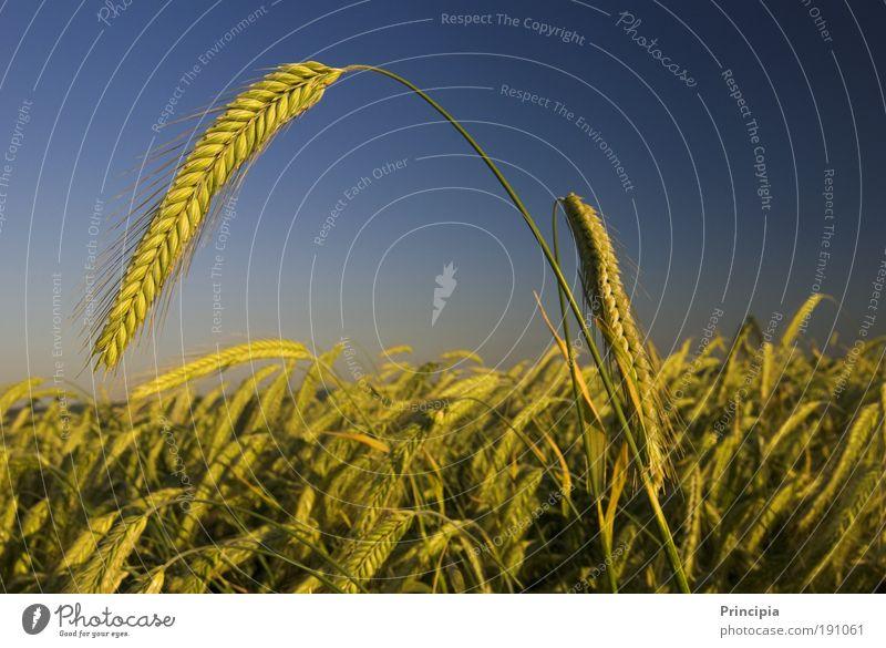 Stolze Ähre Natur Pflanze Sommer Landschaft Zufriedenheit Stimmung Feld ästhetisch Außenaufnahme Schönes Wetter Ähren Ehre Nutzpflanze