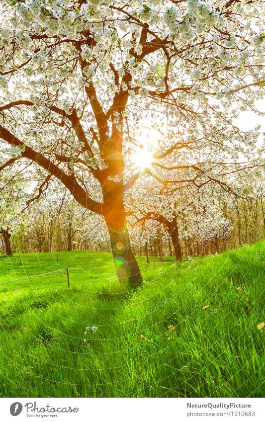 cherry tree Sommer Umwelt Natur Landschaft Pflanze Sonne Sonnenaufgang Sonnenuntergang Sonnenlicht Frühling Schönes Wetter Wärme Garten Park Wiese Feld Hügel