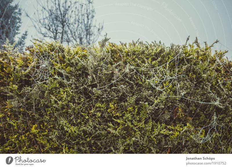 Eisige Spinnweben I Natur Pflanze blau grün Einsamkeit Winter kalt Traurigkeit Herbst Tod Garten außergewöhnlich Nebel Vergänglichkeit Trauer