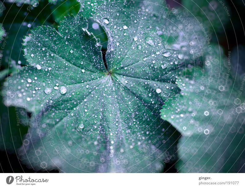 Frauenmantel mit Pailetten Natur grün Pflanze Blatt Linie Regen nass Wassertropfen nah Tau Grünpflanze Blattadern wellig Schwache Tiefenschärfe Pflanzenteile