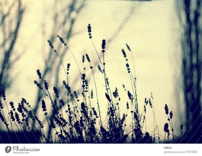 warten... Duft Häusliches Leben Umwelt Natur Pflanze Sträucher Nutzpflanze Wildpflanze Topfpflanze Lavendel Blühend Erholung verblüht dehydrieren dunkel dünn