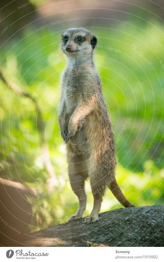 Männlein streck Dich... Natur Pflanze Sommer Tier klein Wildtier stehen Schönes Wetter beobachten Wachsamkeit strecken Erdmännchen
