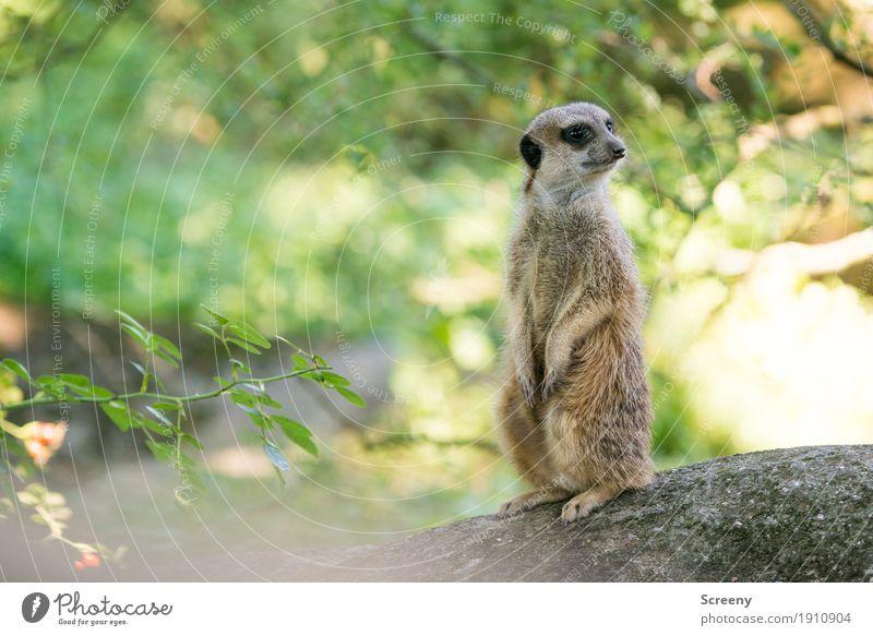 Alles ruhig... Natur Pflanze Sommer Baum Tier klein Wildtier sitzen Sträucher stehen Schönes Wetter beobachten Wachsamkeit Erdmännchen