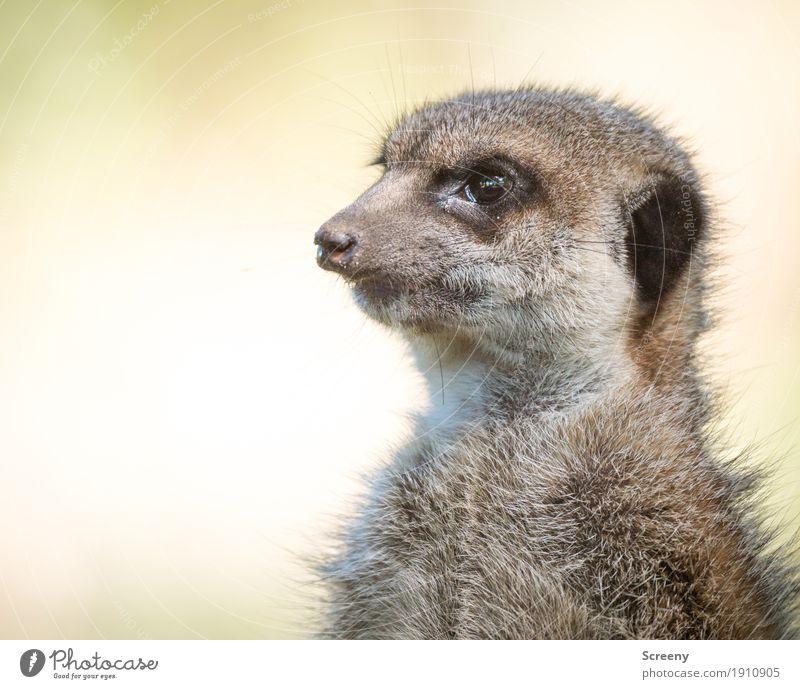 Scharfer Blick Natur Tier Wildtier Erdmännchen 1 klein Neugier niedlich wild Wachsamkeit Auge Farbfoto Außenaufnahme Nahaufnahme Menschenleer Tag Tierporträt