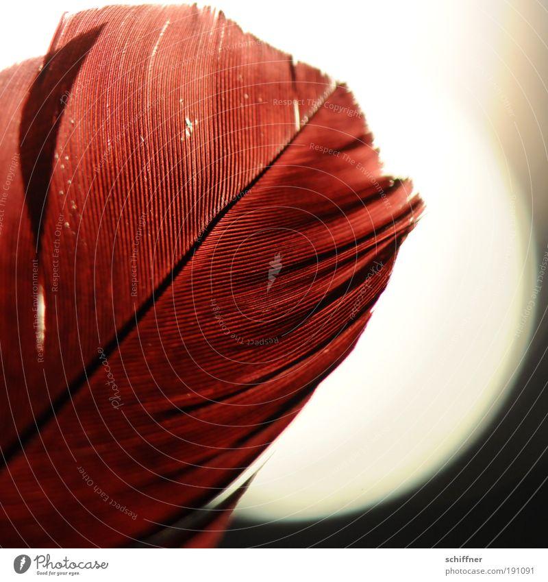 Feuerfeder reloaded Flamingo ästhetisch rot Romantik Hoffnung träumen Leidenschaft ruhig Feder Kiel Strukturen & Formen Detailaufnahme Makroaufnahme Licht