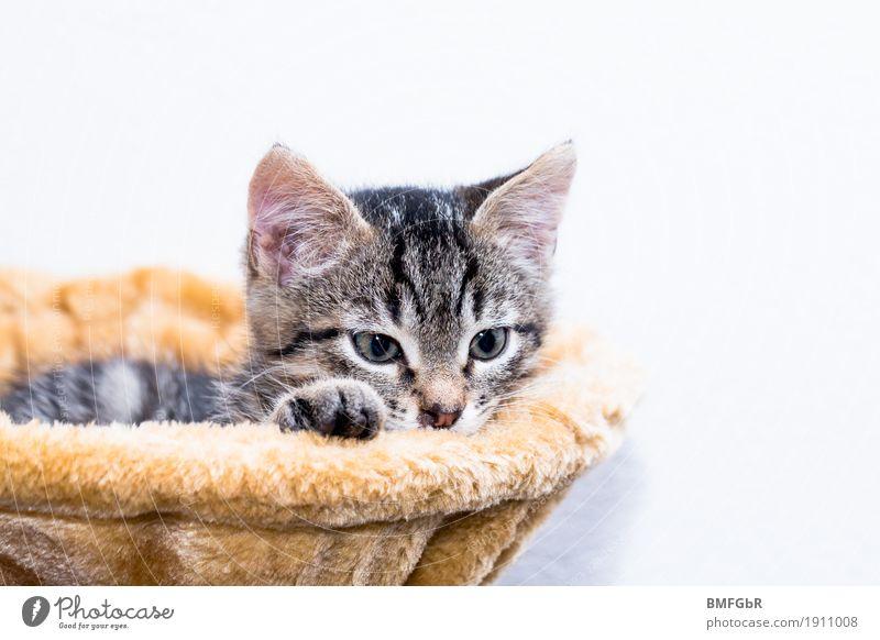 Katzenbett Tier Haustier Fell Pfote Hauskatze Säugetier 1 Tierjunges Katzenbaum liegen Blick träumen Neugier niedlich Zufriedenheit Vertrauen Geborgenheit
