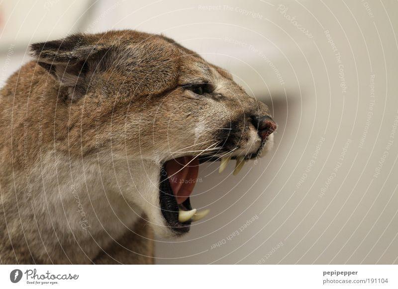 der will nur spielen... Katze Natur Tier Tod Berge u. Gebirge Leben springen Felsen Angst Wildtier wild groß gefährlich bedrohlich Bildart & Bildgenre Hügel