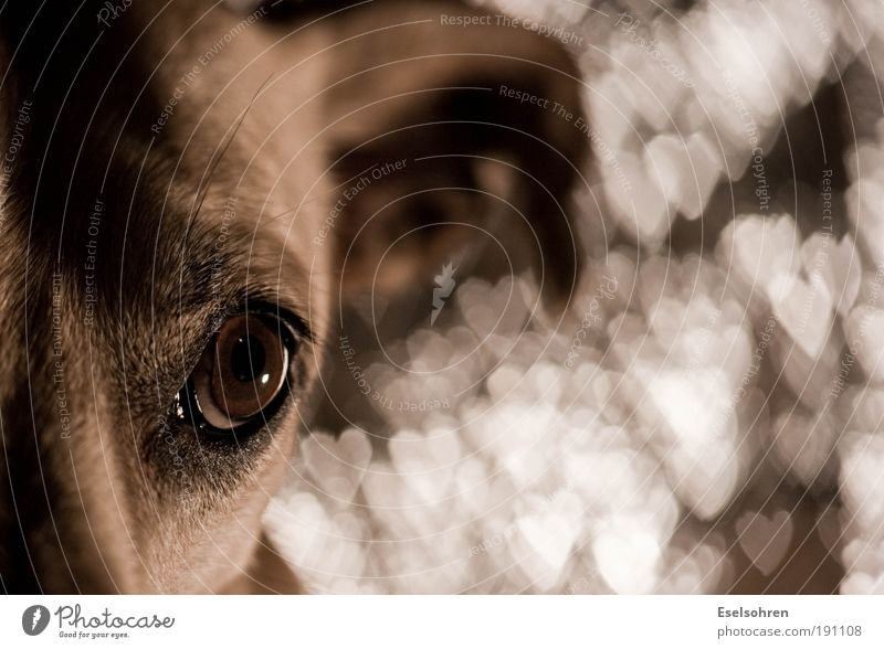 Bokehhund Tier Haustier Hund Tiergesicht Fell 1 Metall Zeichen Herz Gefühle Zufriedenheit Vertrauen Tierliebe dankbar Unschärfe Farbfoto Innenaufnahme