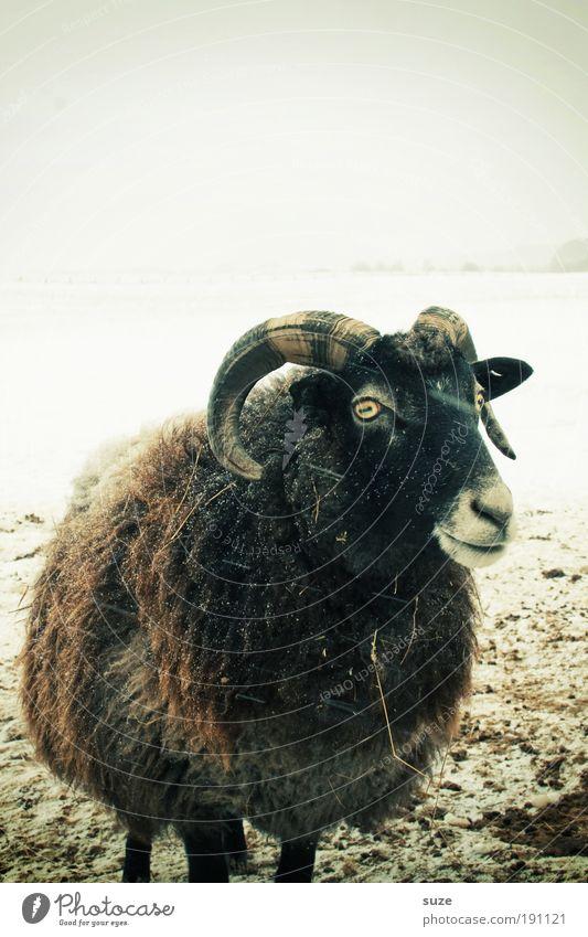 Bock auf Rügen Natur Tier Winter Nutztier 1 kalt Neugier braun Schaf Schafsbock Horn Wolle Viehhaltung Tierhaltung Schwarzes Schaf überwintern Schnee