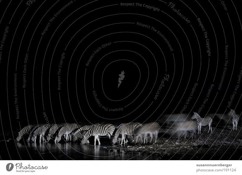 zebra Natur See Wüste Wildtier Zebra Herde trinken Sicherheit Schutz Freundschaft ästhetisch bizarr chaotisch einzigartig Freiheit Kraft rein Ferne Zusammenhalt