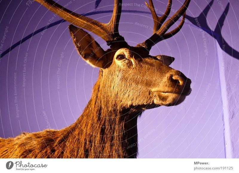 Rotwild Tier Wildtier violett Fell Horn Hirsche