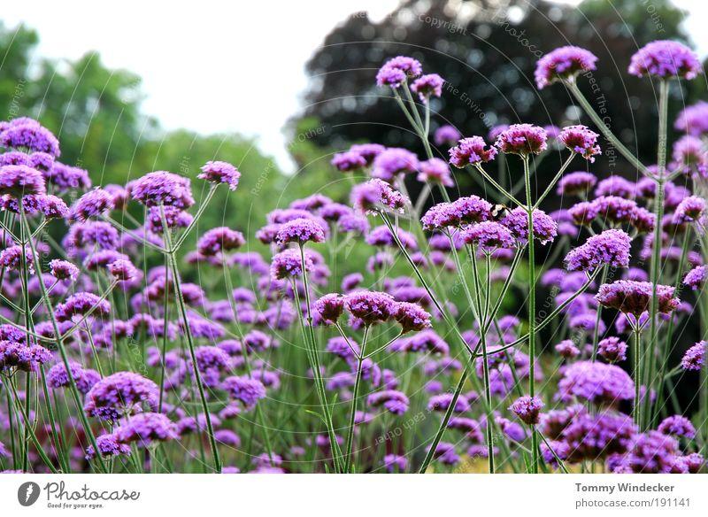 Verbena Bonariensis oder der letzte August Garten Gartenarbeit Umwelt Natur Landschaft Pflanze Frühling Sommer Blume Sträucher Blüte Wildpflanze Blühend