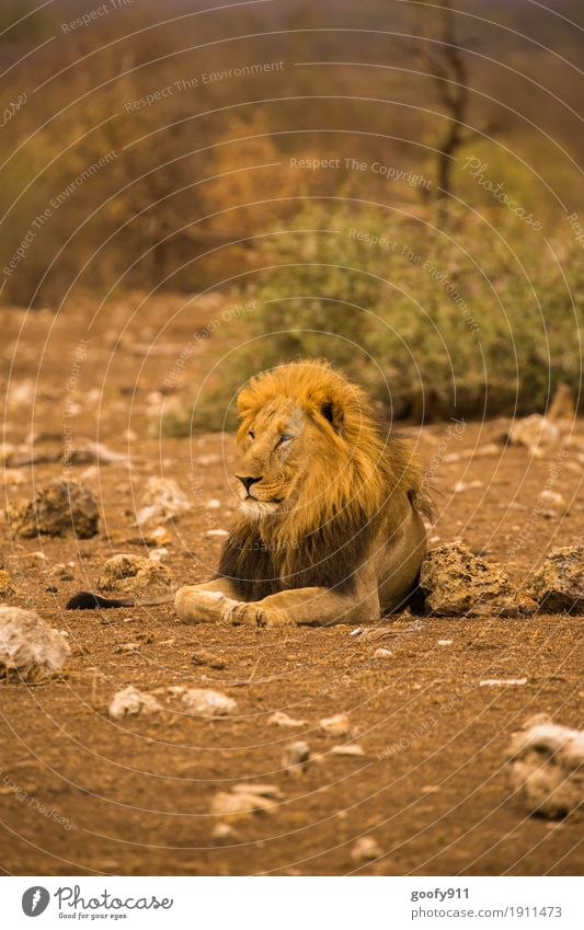 Der König Umwelt Natur Landschaft Urelemente Erde Sand Wärme Dürre Wüste Nationalpark Südafrika Afrika Tier Wildtier Tiergesicht Krallen Pfote Löwe Löwenmähne 1