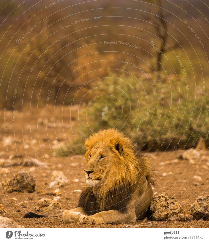 Total Entspannt Umwelt Natur Landschaft Erde Sand Schönes Wetter Wärme Dürre Pflanze Baum Sträucher Wüste Tier Wildtier Tiergesicht Fell Pfote Löwe Löwenmähne