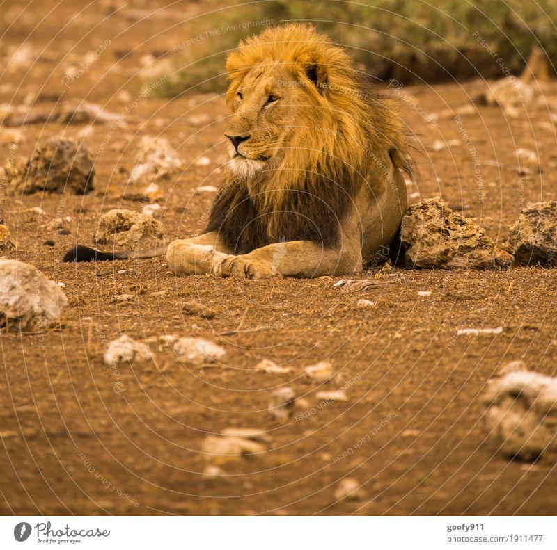 Der König II Umwelt Natur Landschaft Urelemente Erde Sand Wärme Dürre Wüste Nationalpark Südafrika Afrika Tier Wildtier Tiergesicht Fell Krallen Pfote Löwe