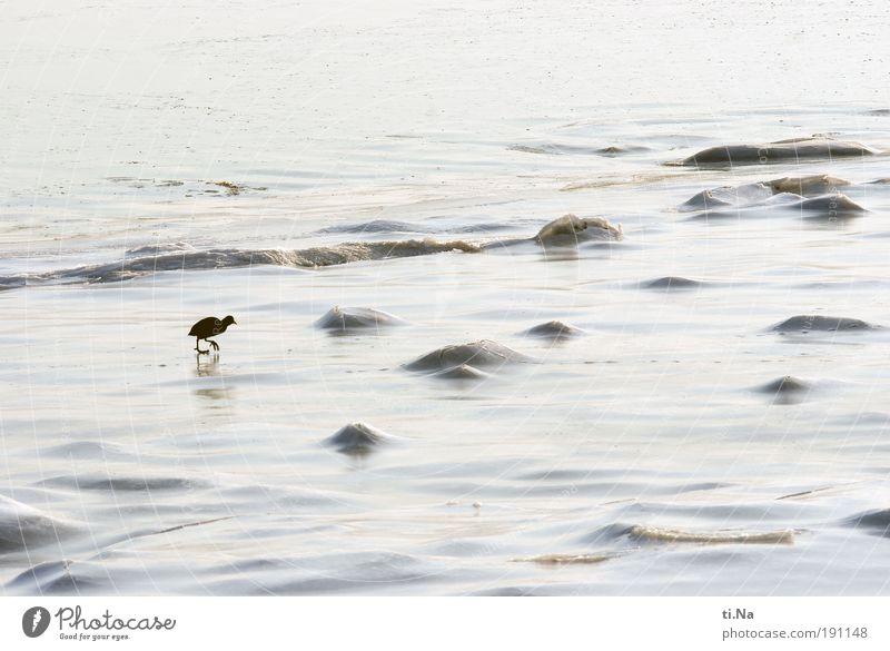 Hals- und Beinbruch Lili! Natur Wasser Meer Winter Tier Landschaft Eis Küste laufen Umwelt Frost Schönes Wetter Nordsee Blässhuhn