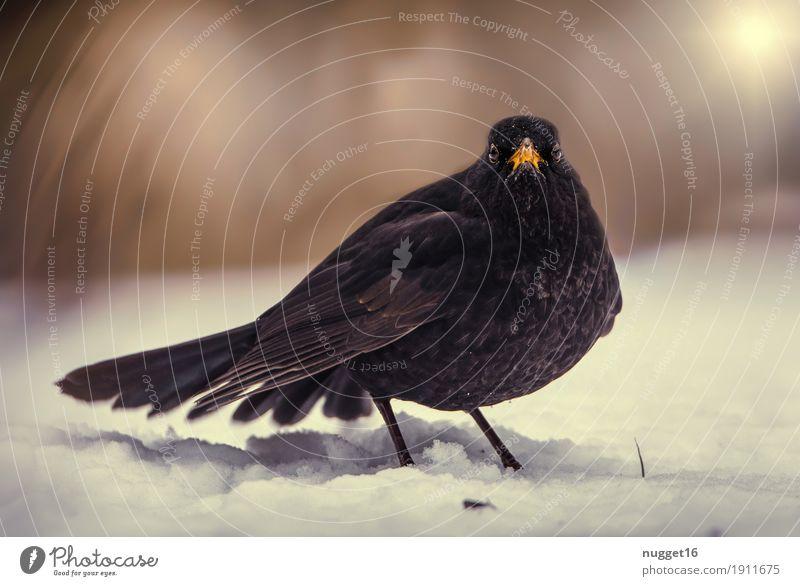 Amsel Umwelt Natur Tier Schönes Wetter Eis Frost Schnee Garten Park Wald Wildtier Vogel Tiergesicht Flügel Zoo 1 beobachten fliegen stehen ästhetisch dunkel