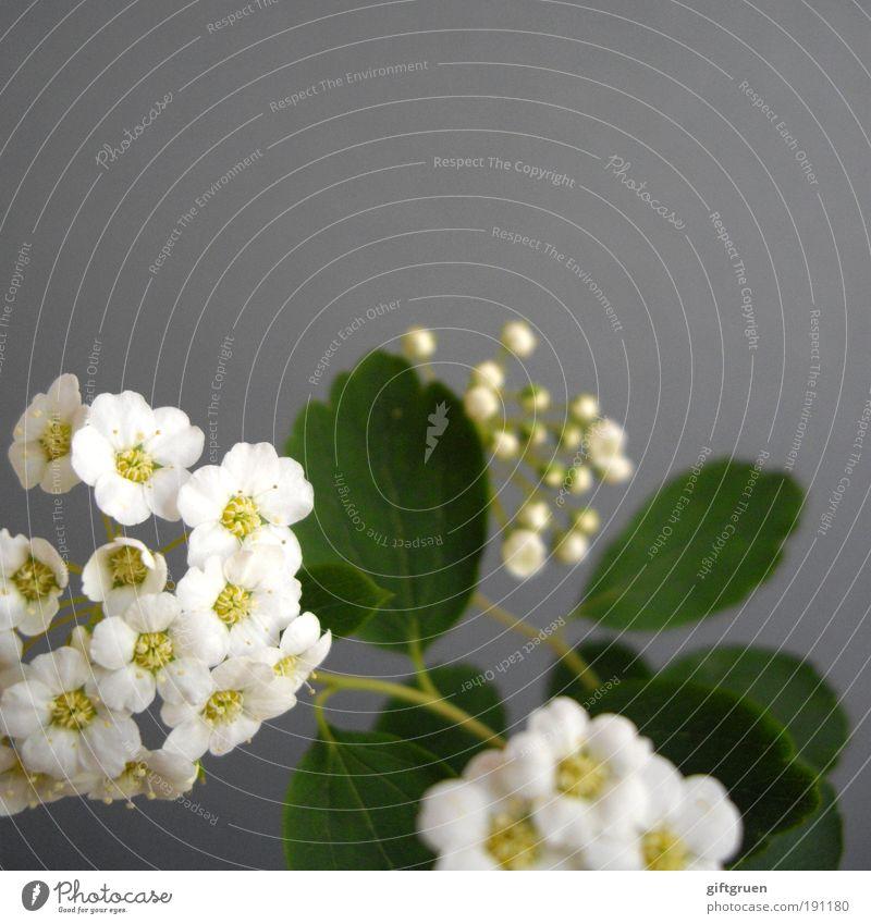 spring sneak peek Natur Pflanze Frühling Blume Blatt Blüte Blühend Duft Wachstum einfach schön natürlich Sauberkeit grau weiß Fröhlichkeit Lebensfreude