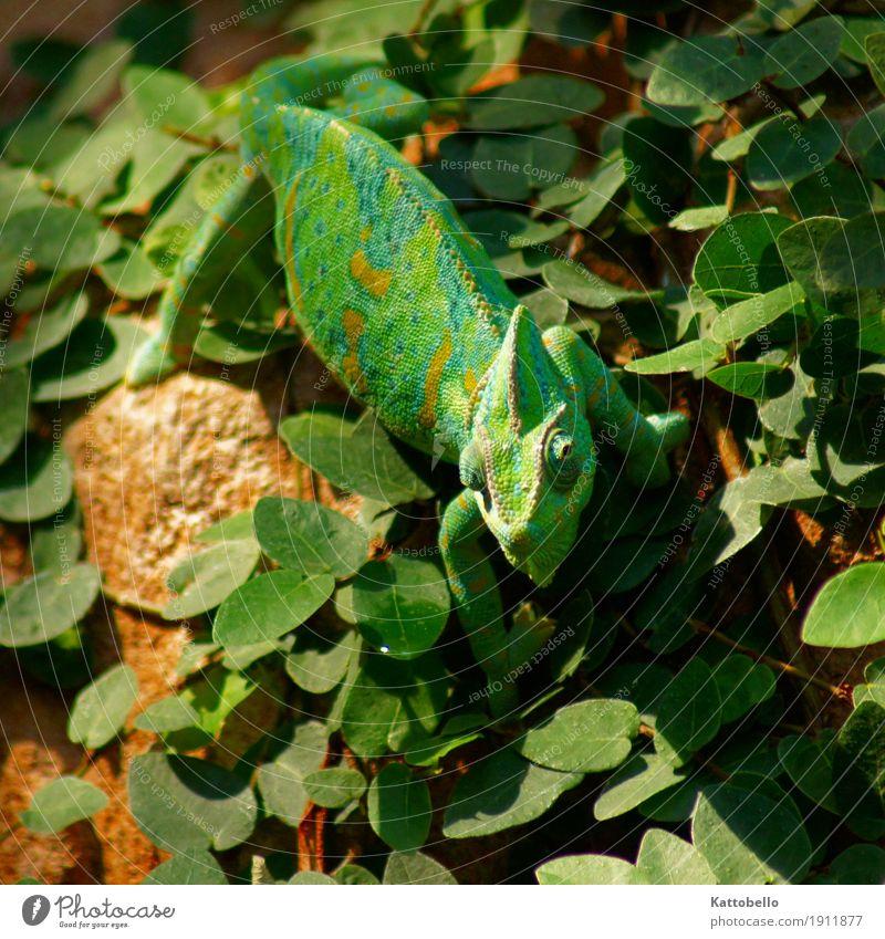 Jemenchamäleon (Chamaeleo calyptratus) Natur Grünpflanze Tier Haustier Wildtier beobachten Jagd exotisch grün Farbfoto Außenaufnahme Tierporträt