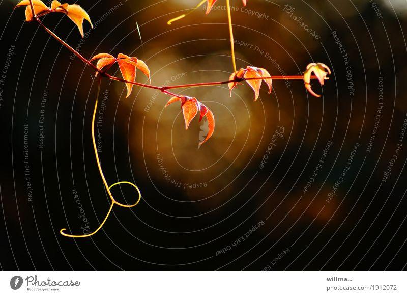 Oktober Herbst Blatt Herbstfärbung herbstlich Ranke Kletterpflanzen Wilder Wein leuchten braun gelb rot Abenddämmerung natürlich Natur Pflanze Farbfoto