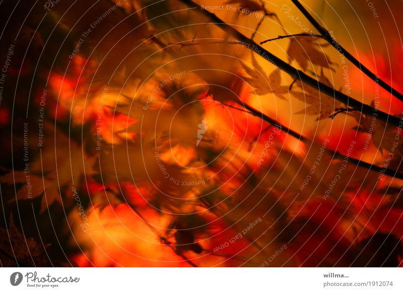 Herbstharmonie Herbstlaub Geäst Zweige u. Äste herbstlich Schlitzahorn Ahorn Ahornzweig Blutahorn Japanischer Ahorn Wärme harmonisch feurig